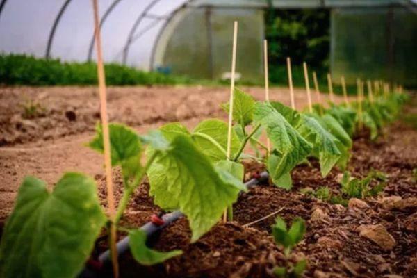 Неорганический фунгицид ордан поможет излечить растения