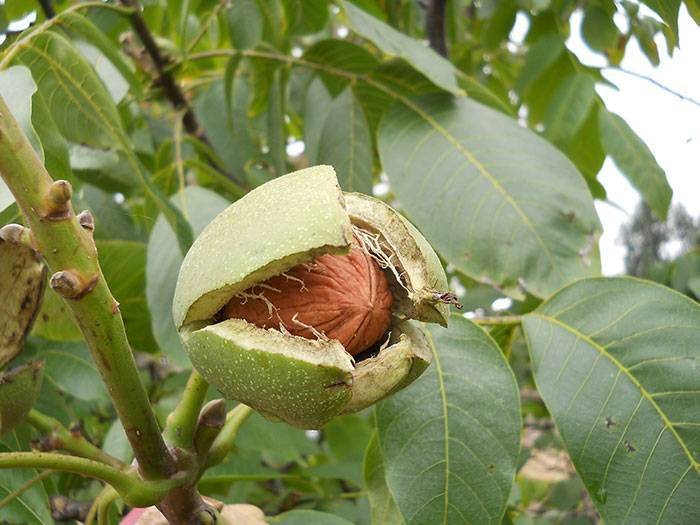 Как правильно обрезать грецкий орех весной, летом и осенью
