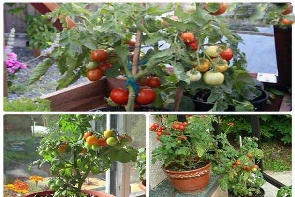 Характеристика и описание томата «ультраскороспелый»