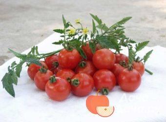 Томат гармошка — описание сорта, отзывы, урожайность