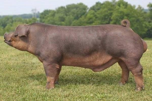 Мясная порода свиней петрен