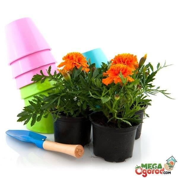 Можно ли держать дома цветок канну, как выращивать и ухаживать