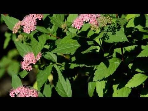 Розовые спиреи: описание, сорта, посадка и уход