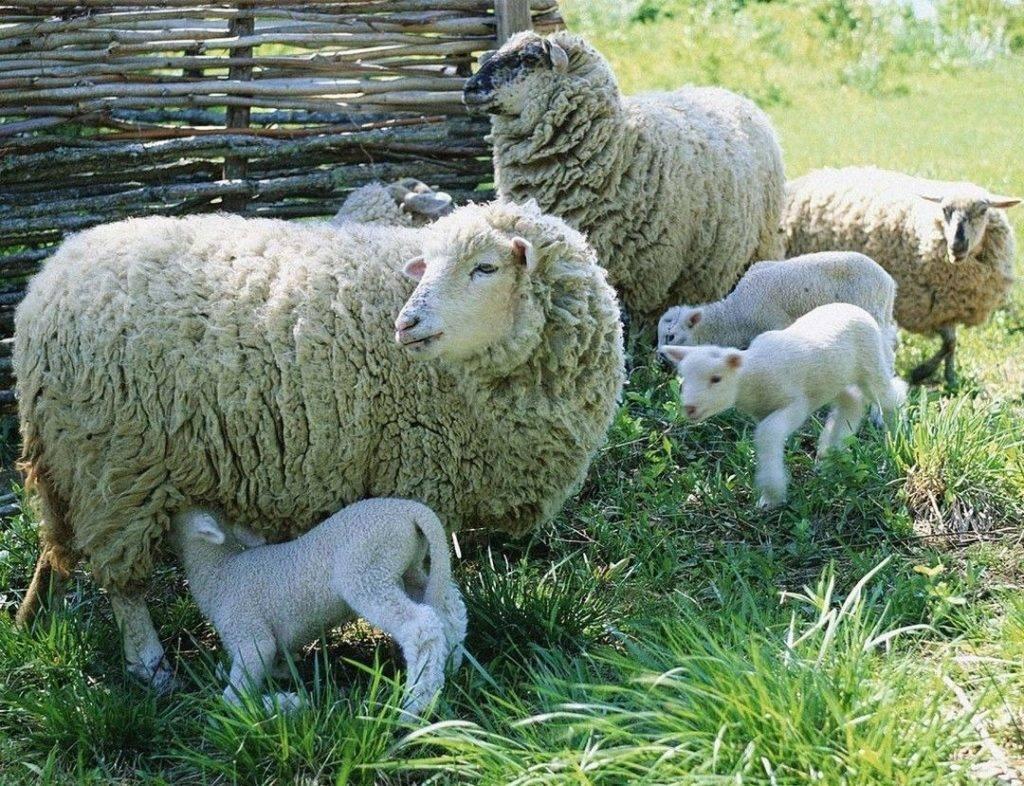 Разведение овец: советы новичкам, особенности и перспективы бизнеса, рентабельность и нюансы овцеводства (100 фото)