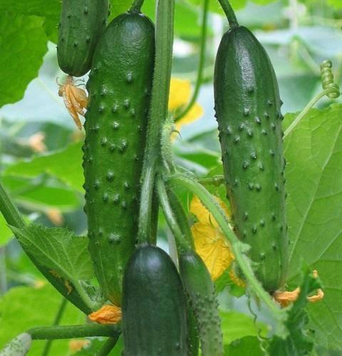 Урожайный огурец каролина