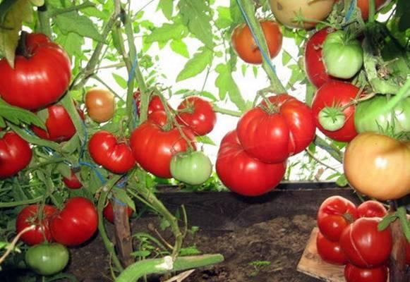 Характеристика и описание сорта томата Бабушкино Лукошко, его урожайность