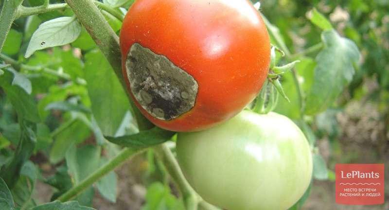Болезни томатов с фото и как с ними бороться