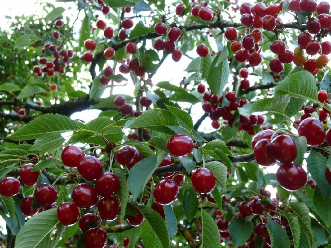 Вишня шакировская: описание и характеристики сорта, выращивание и уход с фото