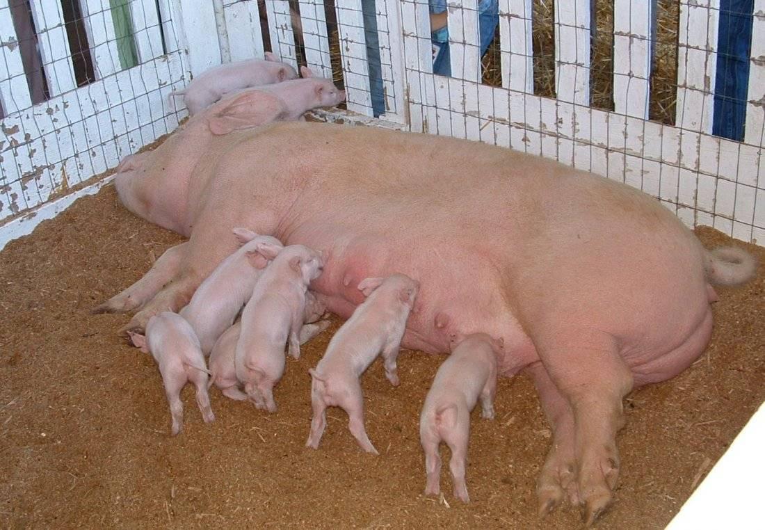 Описание и характеристика породы свиней Йоркшир, правила разведения и ухода