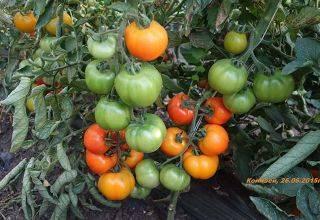 Характеристика и описание авторских семян томатов от селекционера Мязиной