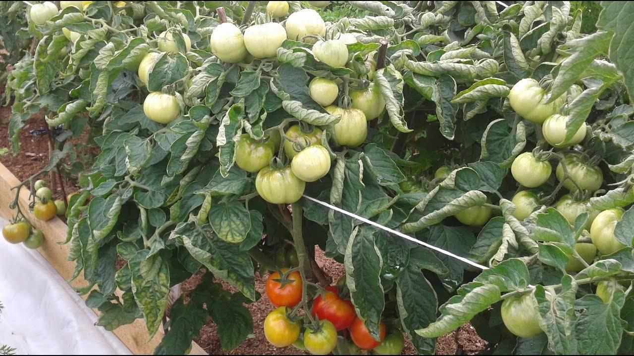 Томат дубрава (дубок): описание и выращивание сорта на огороде