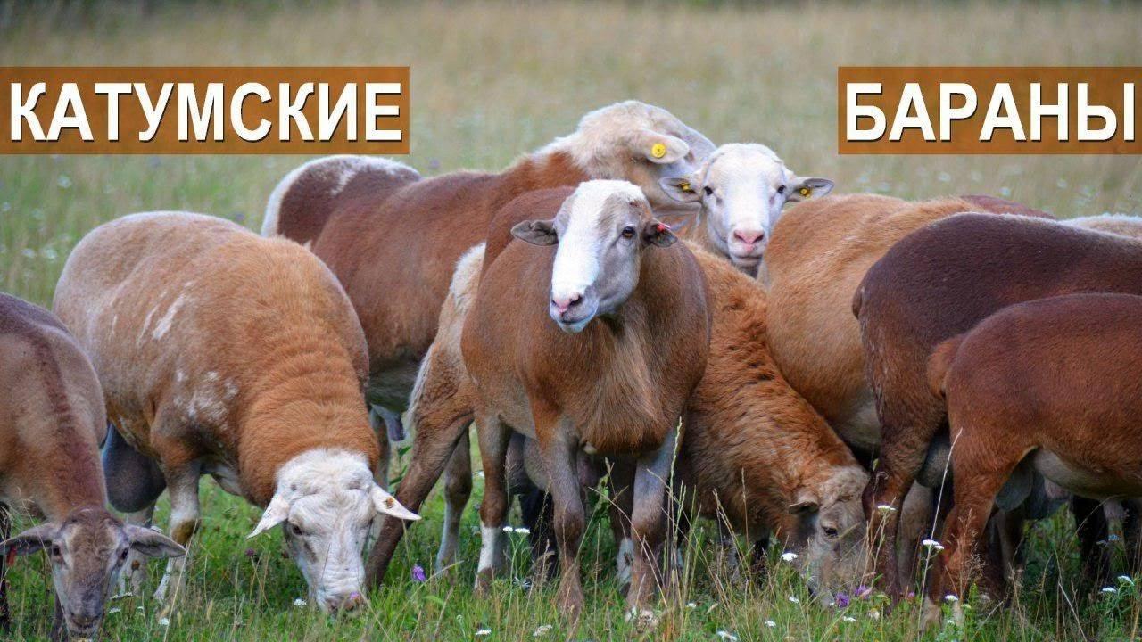 Овцы катумской породы