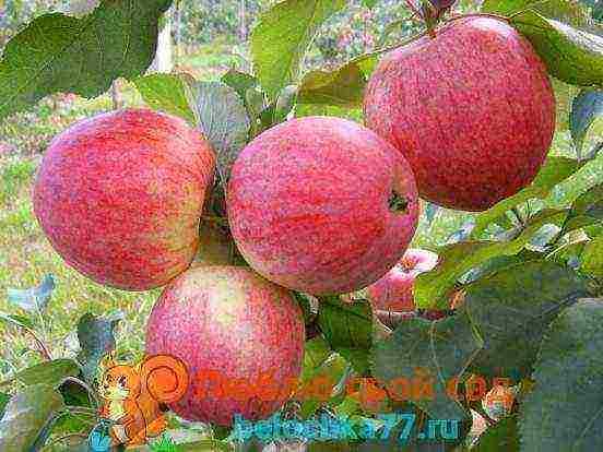 Устойчив к поражению паршой и не боится холода сорт яблони горнист