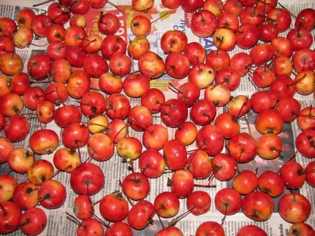 Особенности яблонь ранетки