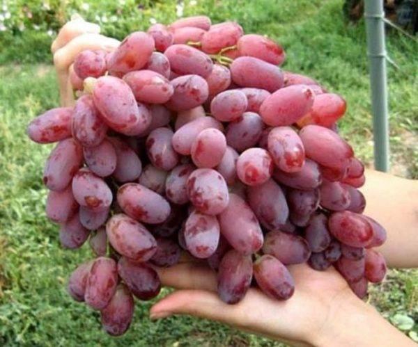 Виноград «кишмиш лучистый»: описание сорта, фото, отзывы