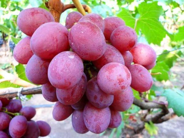 Столовая разновидность кишмиша без семян — виноград аттика