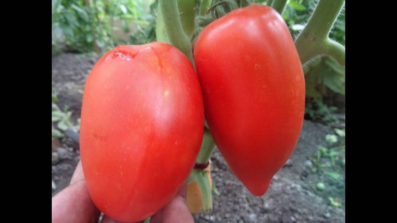 Чем нравится овощеводам томат сибирская тройка