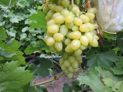 Виноград бажена: описание сорта и рекомендации по уходу