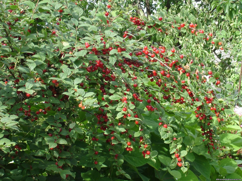 Описание и выращивание войлочной вишни