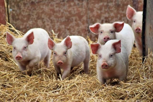 Причины высокой температуры у свиньи
