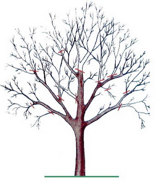 Как правильно обрезать и сформировать крону у сливы весной, летом и осенью