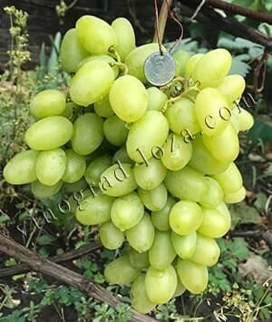 Виноград преображение. характеристики, период созревания, особенности ухода
