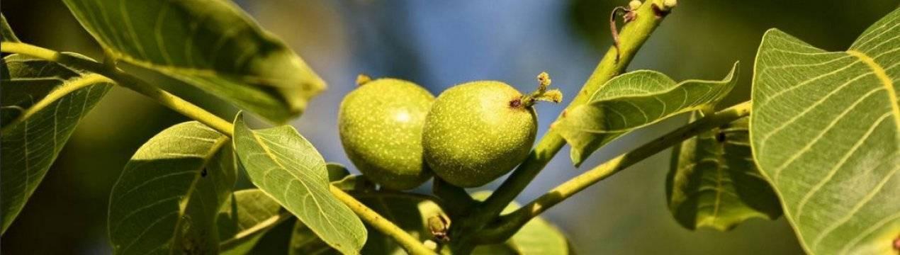Описание грецкого ореха сорта идеал, выращивание и уход