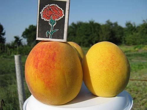 Описание и характеристики персика редхейвен, история селекции сорта и правила выращивания