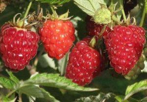 Описание и особенности выращивания сорта малины маросейка