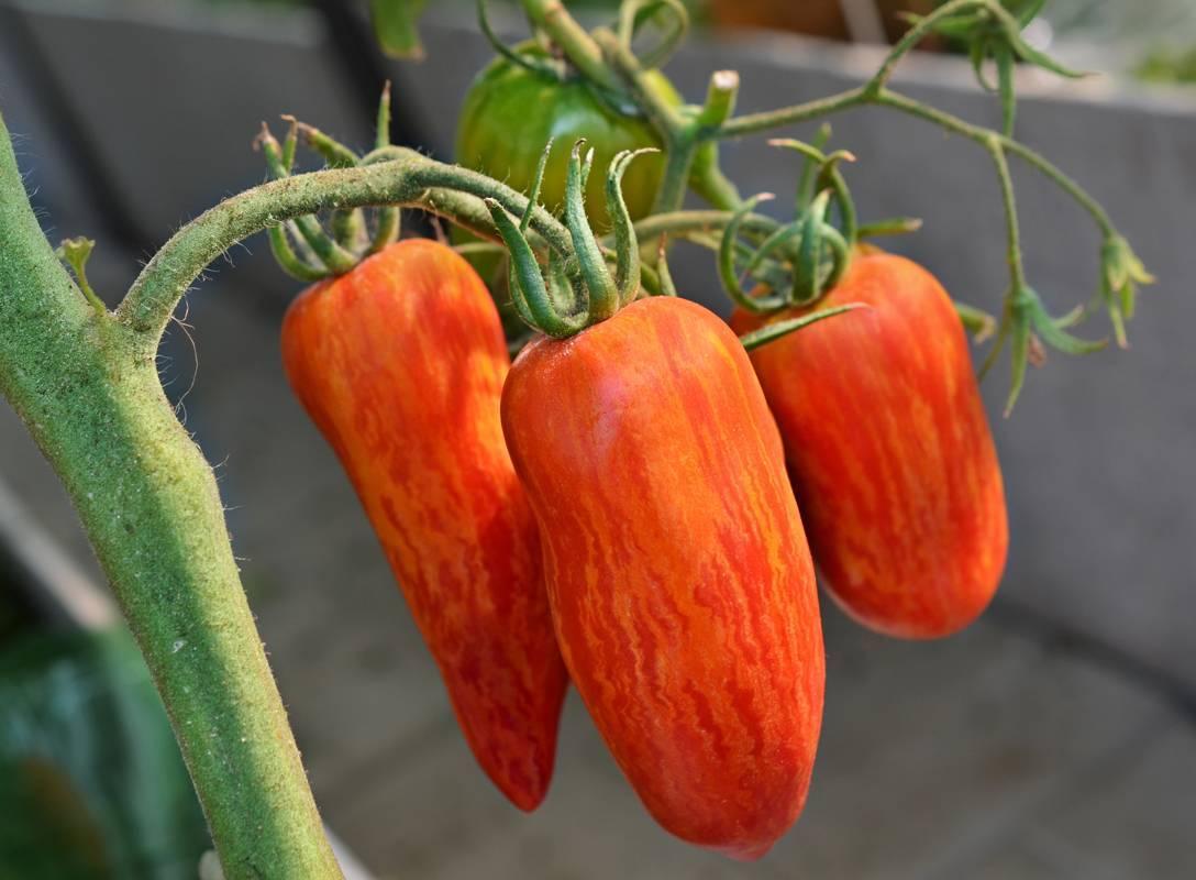 Томат челнок — ранний холодоустойчивый сорт
