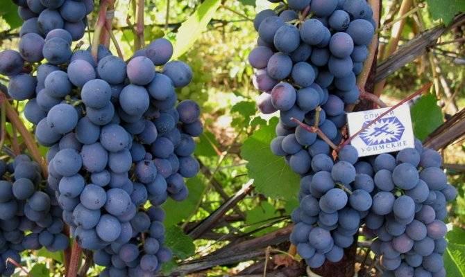 Описание и характеристики винограда сорта агат донской, выращивание и уход
