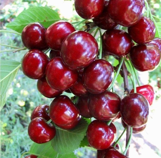 Когда созревает и как правильно собирать вишню, особенности сортов и регионов. клубничные места подмосковья: где можно собрать ягоду бесплатно