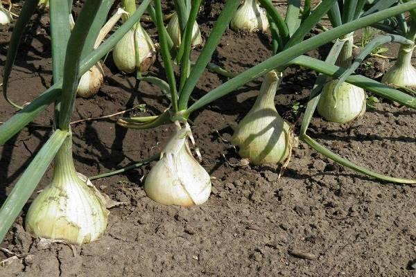 Когда выкапывать лук посаженный под зиму в 2020 году: благоприятные дни