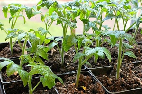 Помидоры петруша-огородник. описание томата с сибирским характером