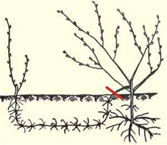 Как развести и рассадить виноград у себя на участке