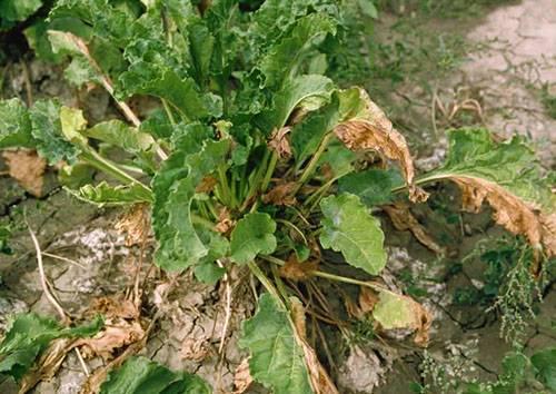 Причины изменения цвета листьев свеклы