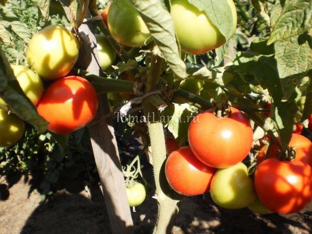 Описание сорта томатов Алые паруса и их характеристика
