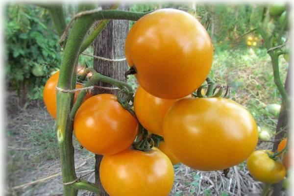 Томат сибирское яблоко: характеристика и описание сорта, урожайность, отзывы