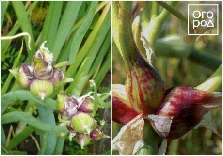 Как правильно посадить и вырастить лук весной?