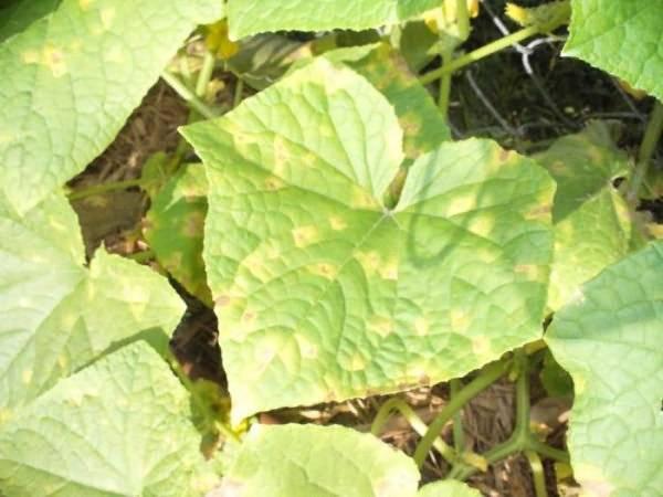 Почему на огурцах желтые пятна на листьях: что делать, чем лечить в открытом грунте, народные средства