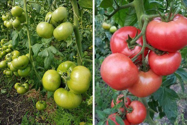 Красивый великан на ваших грядках — томат «де барао розовый»