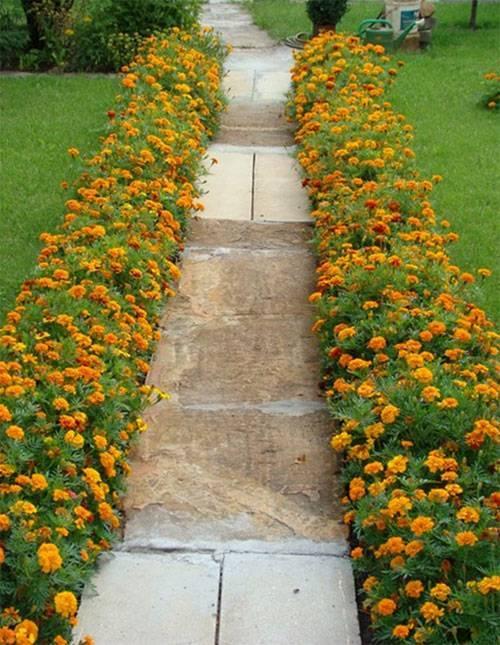 Основные правила выращивания и ухода за бархатцами