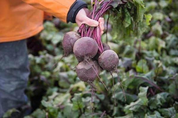 Выращивание свеклы в открытом грунте — основные правила агротехники