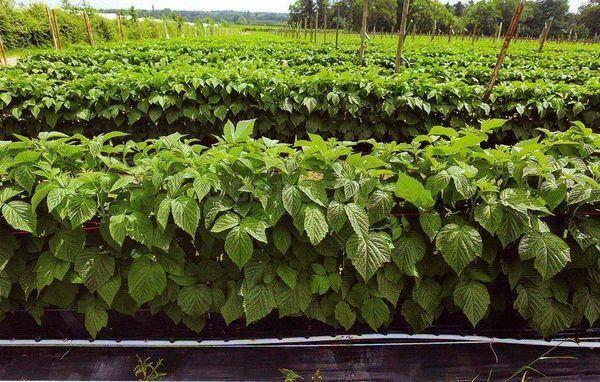 Как правильно вырастить малину из семян на рассаду в домашних условиях