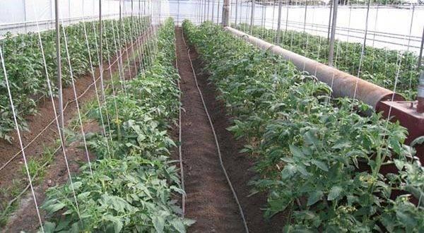 9 советов, которые помогут вырастить небывалый урожай томатов