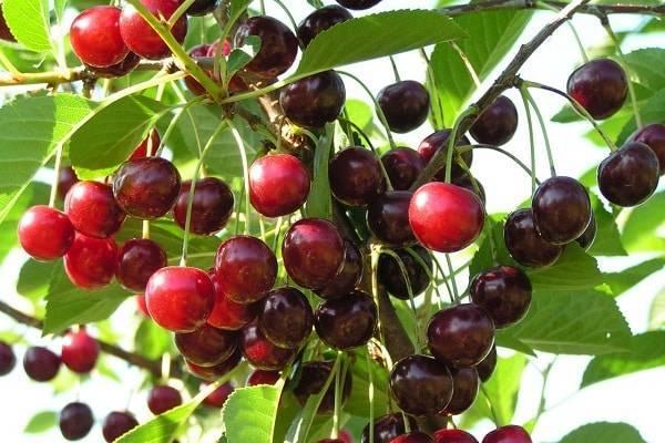 Отличия сорта вишни стандарт урала от других сортов