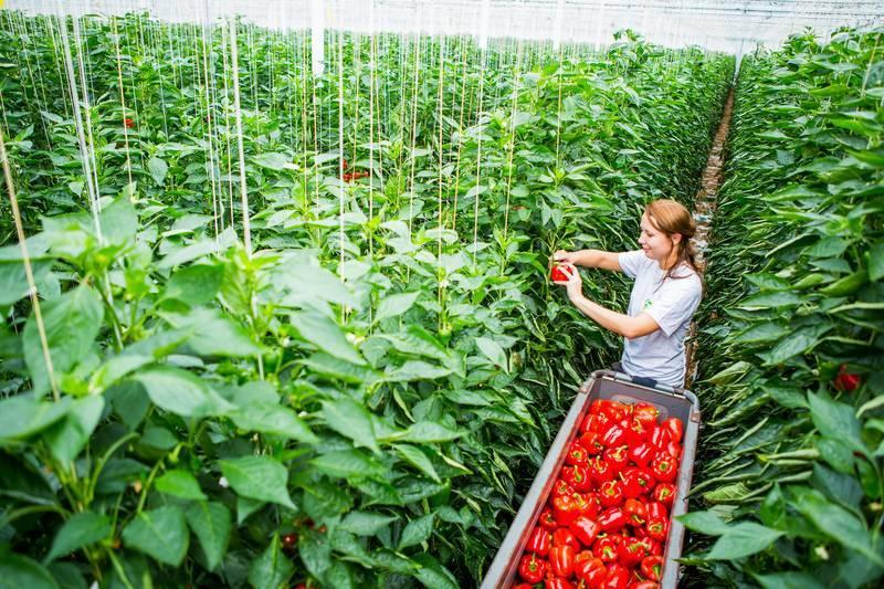 Выбор сорта и правильное выращивание сладкого перца в подмосковье