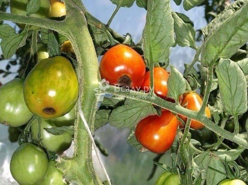 Вершинная гниль томатов в теплице и открытом грунте: лечение и профилактика