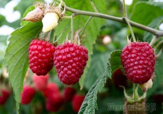 Почему не плодоносит черная и красная смородина, на кустах нет ягод — 5 причин и что делать