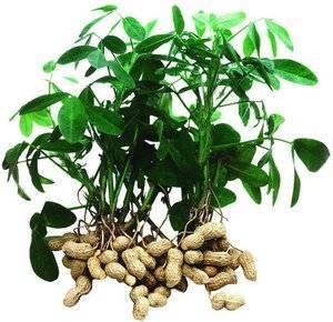 Описание сортов и видов арахиса, полезные и вредные свойства, посадка и уход